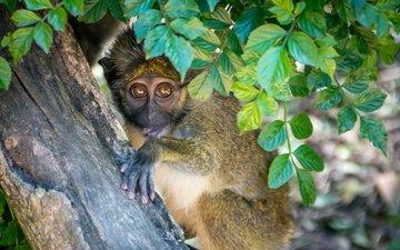 дерево, листья, взгляд, обезьяна, примат