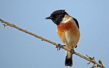 небо, ветка, птица, певчая птица, птаха, черноголовый чекан, ammadoux