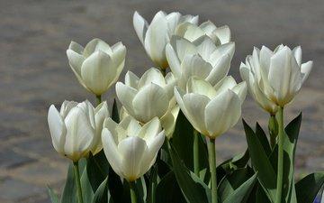 весна, тюльпаны, белые, белая, тульпаны, весенние