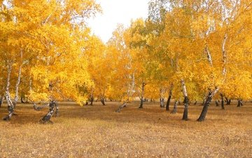 trees, nature, forest, leaves, landscape, birch, autumn, kazakhstan