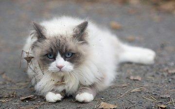фон, кошка, взгляд