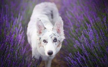 цветы, лаванда, взгляд, собака, бордер-колли, alicja zmysłowska, princess cirilla in lavender
