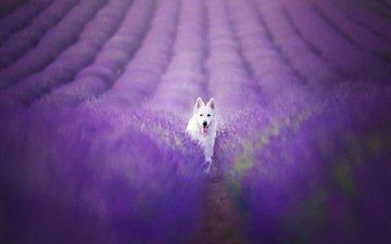 цветы, поле, лаванда, собака, белая, alicja zmysłowska, lavender field, швейцарская овчарка, окса, белая швейцарская овчарка