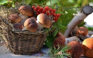 грибы, корзина, рябина, боровики