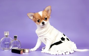 dress, bottles, cosmetics, chihuahua