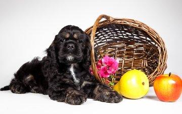 фрукты, щенок, корзина, кокер-спаниель