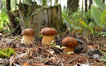 лес, хвоя, грибы, пень, трио, боровики