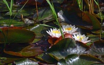 водоем, лилии, кувшинки, нимфея, водяные лилии