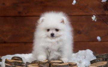 пушистый, белый, щенок, шпиц