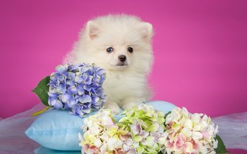 white, puppy, pillow, hydrangea, spitz
