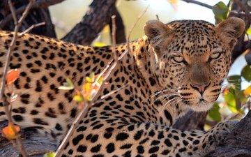 дерево, взгляд, леопард, пятна, хищник