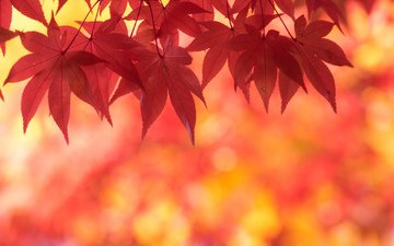 leaves, autumn, maple, scarlet