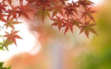 листья, ветки, осень, клен, багряный
