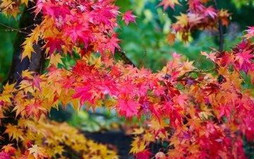 дерево, листья, осень, клен, яркий, багряный