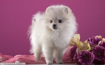 цветы, белый, щенок, порода, шпиц