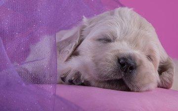 сон, щенок, малыш, милый, золотистый ретривер