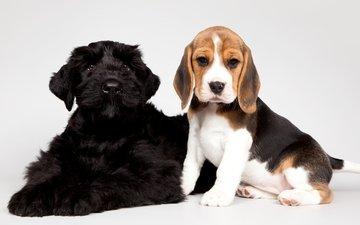 черный, щенки, малыши, бигль, пятнистый