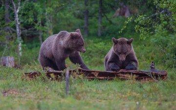 лес, медведь, пара, бревно, бурый