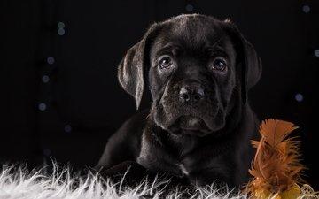 черный, щенок, порода, перо, кане-корсо