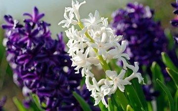 макро, фиолетовый, белый, гиацинт