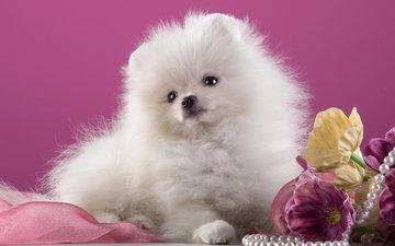 flowers, white, necklace, cute, spitz