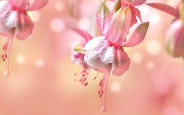 макро, розовый, нежность, фуксия