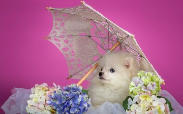 white, puppy, umbrella, hydrangea, spitz