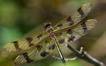 макро, насекомое, крылья, стрекоза