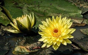 вода, жёлтая, нимфея, водяная лилия