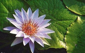 капли, лепестки, розовая, нимфея, водяная лилия