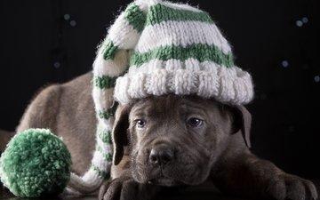 щенок, шапка, порода, кане-корсо, милый