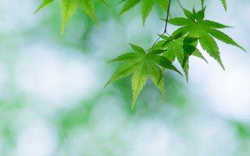 ветка, листья, фон, зеленые, клен