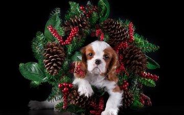щенок, ель, яблоко, шишки, порода, милый, кавалер кинг чарльз спаниель