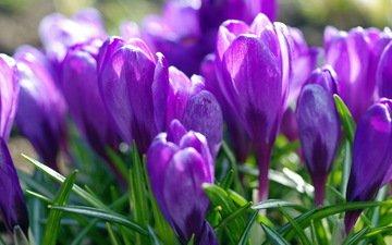 фиолетовый, весна, крокусы