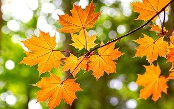 ветка, желтый, листья, осень, клен