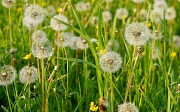 трава, лето, пушистый, луг, одуванчики