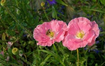 маки, луг, розовый, пчела