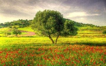 трава, дерево, маки, луг, hdr
