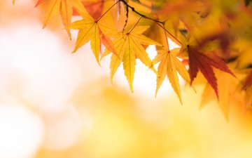 желтый, листья, осень, клен