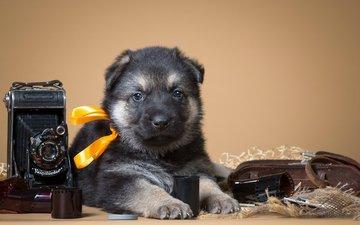 ретро, щенок, фотоаппарат, бантик, кавказская овчарка
