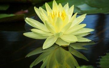 вода, отражение, жёлтая, кувшинка, нимфея, водяная лилия