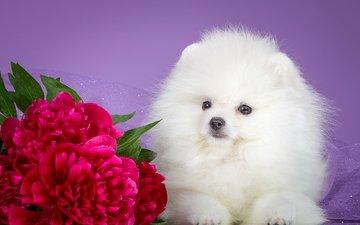 цветы, мордочка, взгляд, белый, собака, щенок, пионы, шпиц