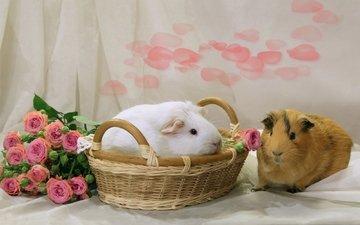 цветы, розы, пара, корзина, грызуны, морские свинки