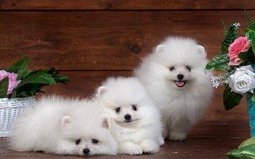 цветы, пушистый, белый, щенок, забавные, трио, милый, шпиц