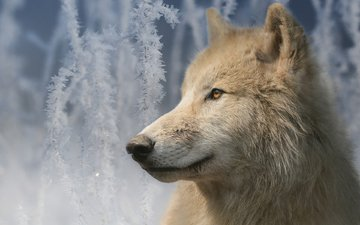 морда, портрет, ветки, иней, взгляд, волк, мелвильский островной волк, арктический волк