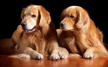 шерсть, пара, собаки, золотистый ретривер, красавцы