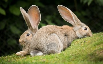 трава, пара, кролики