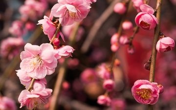 дерево, цветение, макро, ветки, весна, розовый, слива