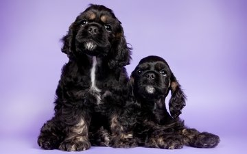 puppies, dogs, duo, cocker spaniel