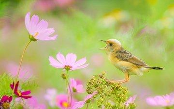 цветы, птица, боке, космея, золотоголовая цистикола, цистикола